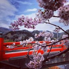 Sakura Kawazu