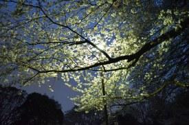 hanami bei nacht