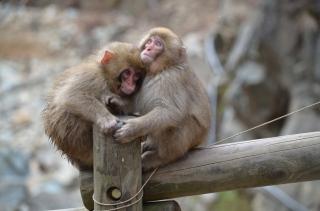 Nagano Monkeys