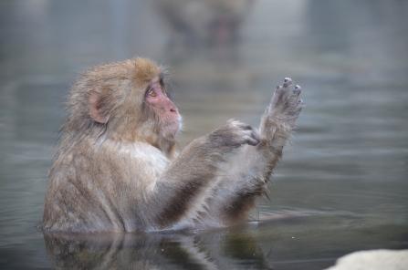 Hot Spring Monkeys