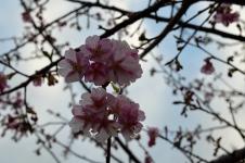 Kawazu_Sakura_02