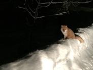 Kitsune - Hokkaido Fox